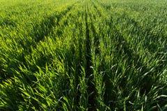 在绿色麦田的行在日落 免版税库存图片