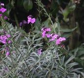 在紫色,永恒桂竹香的红蛱蝶蝴蝶 免版税库存照片