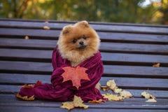 在紫色围巾包裹的长凳的Pomeranian狗 美丽的秋天狗在有秋叶的一个公园 免版税图库摄影