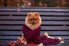 在紫色围巾包裹的长凳的Pomeranian狗 美丽的秋天狗在有秋叶的一个公园 免版税库存图片
