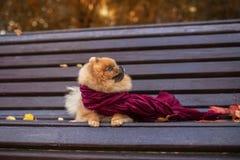 在紫色围巾包裹的长凳的Pomeranian狗 美丽的秋天狗在有秋叶的一个公园 免版税库存照片