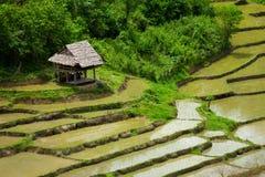 在绿色稻田的小屋 免版税库存图片