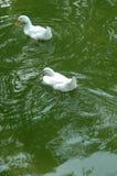 在绿色水的两白色鸭子 库存图片