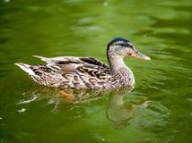 在绿色水的野鸭鸭子 免版税库存图片