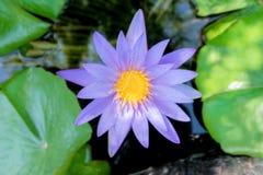 在紫色紫罗兰色颜色的莲花与绿色在自然水池离开 免版税库存照片