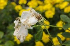 在绿色/黄色背景的死白色玫瑰 免版税库存照片