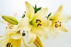 在黄色黄花菜的宏观看法 免版税图库摄影