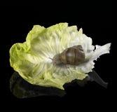 在绿色莴苣叶子的葡萄树蜗牛 免版税图库摄影