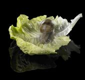 在绿色莴苣叶子的葡萄树蜗牛 库存图片