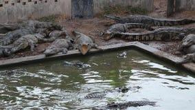 在绿色水附近的鳄鱼 影视素材