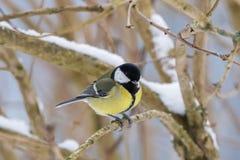 在黄色黑颜色的逗人喜爱的矮小的伟大的山雀鸟坐树 库存照片