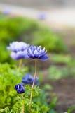 在绿色blured背景的紫罗兰色花 免版税库存照片