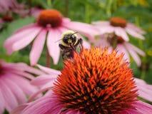 在紫色Coneflower的土蜂 图库摄影