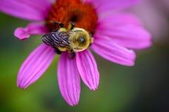 在紫色Coneflower的土蜂 库存照片