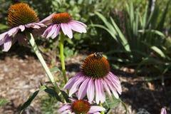 在紫色Coneflower的蜜蜂 库存图片