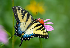 在紫色coneflower的黄色东部老虎swallowtail蝴蝶 库存照片