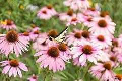 在紫色coneflower的蝴蝶 库存图片