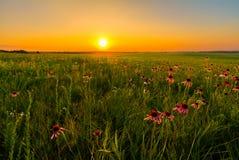 在紫色Coneflowers的大草原领域的日落 库存图片