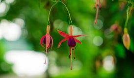 在绿色defocused背景的两朵开花的紫红色的花 免版税库存照片