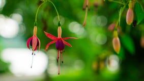 在绿色defocused背景的两朵开花的紫红色的花 库存照片