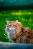 在绿色gras的红色西伯利亚猫 免版税库存照片