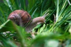 在绿色gras的蜗牛在雨以后 库存照片