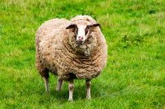 在绿色gras的绵羊 免版税库存图片