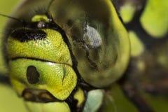 在绿色Ophiogomphus塞西莉亚的头的细节有一只结疤的眼睛的 免版税库存照片