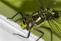 在绿色Ophiogomphus塞西莉亚的细节有一只结疤的眼睛的 库存图片