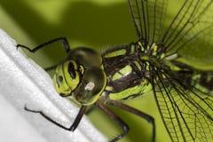 在绿色Ophiogomphus塞西莉亚的细节有一只结疤的眼睛的 图库摄影