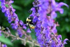 在紫色Salvia的土蜂 免版税库存照片