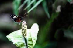 在水芋百合花的蝴蝶与拷贝空间 免版税库存图片