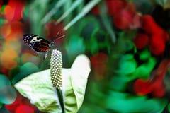 在水芋百合花的蝴蝶与拷贝空间 图库摄影