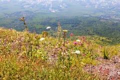 在维苏威火山一边的野花 免版税图库摄影