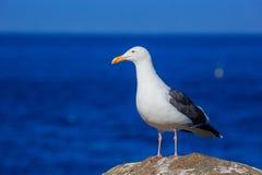 在17英里海岸线的海鸥 免版税库存图片