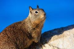 在17英里海岸线的灰鼠 免版税库存照片