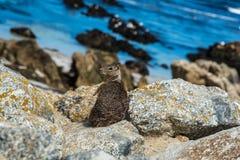 在17英里驱动的灰鼠在Pebble海滩加利福尼亚 免版税库存图片