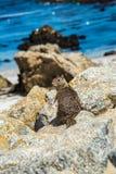在17英里驱动的灰鼠在Pebble海滩加利福尼亚 免版税图库摄影