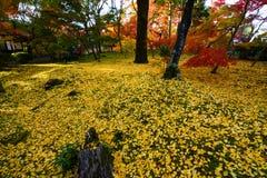在绿草下落的美丽的金黄黄色银杏树叶子在秋天期间在京都,日本 库存照片