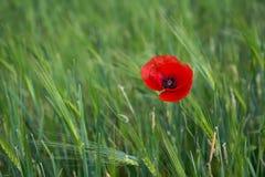 在绿草不同的背景的明亮的红色鸦片  免版税库存图片