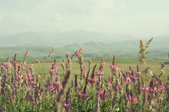 在绿草中的桃红色野花 大横向山山 图库摄影