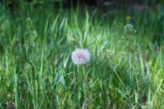在绿草中的白色蒲公英在春天 免版税库存图片