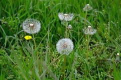 在绿草中的白色蒲公英 免版税库存照片