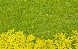 在绿草前面的黄色叶子灌木 免版税库存图片