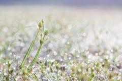 在绿草叶子的露滴 免版税库存照片