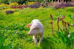 在绿草和花背景的猪  图库摄影