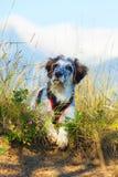 在绿草和高山和蓝天的模糊的狗在背景,自由旅行概念,拷贝空间 库存图片