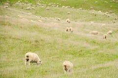 在绿草在晴天,新西兰的白羊 免版税库存图片