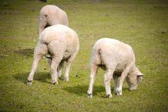 在绿草在晴天,新西兰的白羊 免版税库存照片