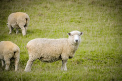 在绿草在晴天,新西兰的白羊 库存图片